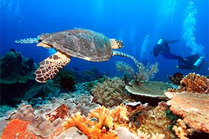 Hawksbill turtle swimming amongst coral